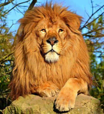 Подбираем лучший талисман для Льва